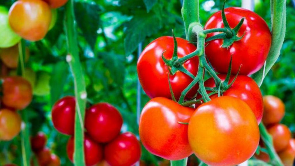 Những quả cà chua chất lượng  trồng và chăm sóc