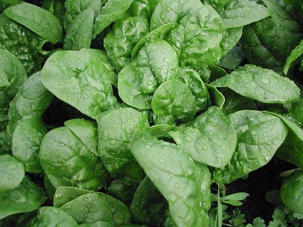 Cách trồng rau chân vịt