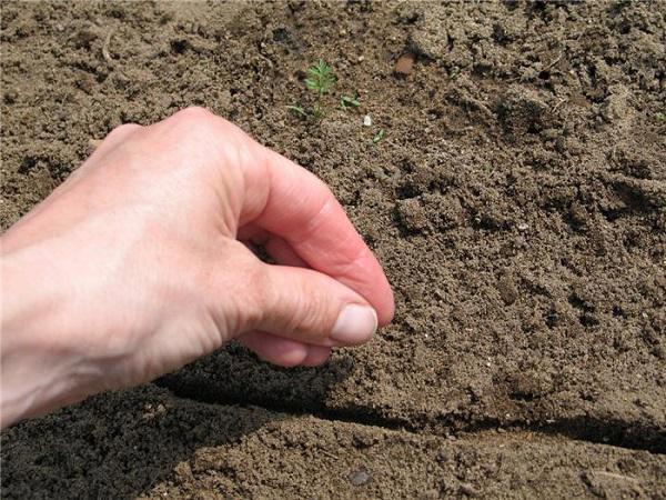 Cách trồng rau muống từ hạt giống,nhanh nảy mầm