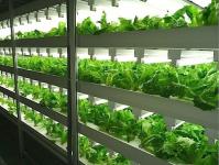 Ảnh hưởng của điều kiện ánh sáng đến sự sinh trưởng của rau trồng