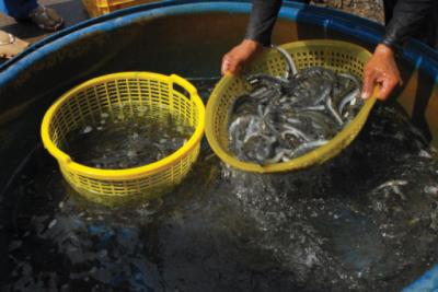 Kỹ thuật nuôi cá kèo thương phẩm hiệu quả