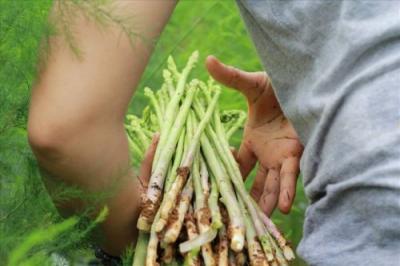 Cách trồng măng tây thu hoạch sớm